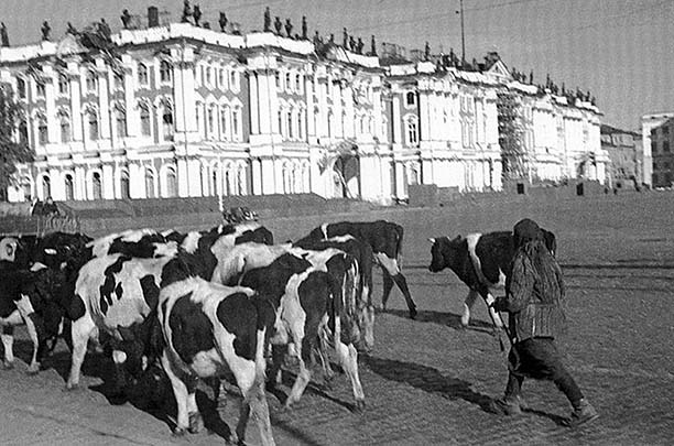 Leningrad. Cattle, drove the inhabitants of frontline areas