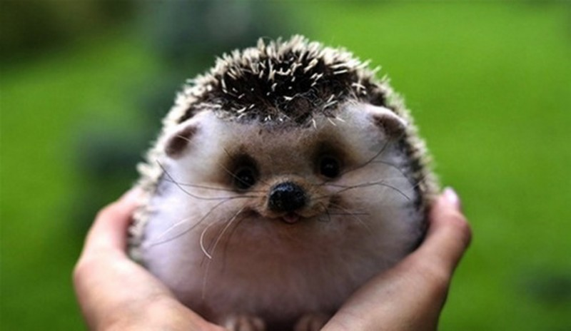 smiling-hedgehog