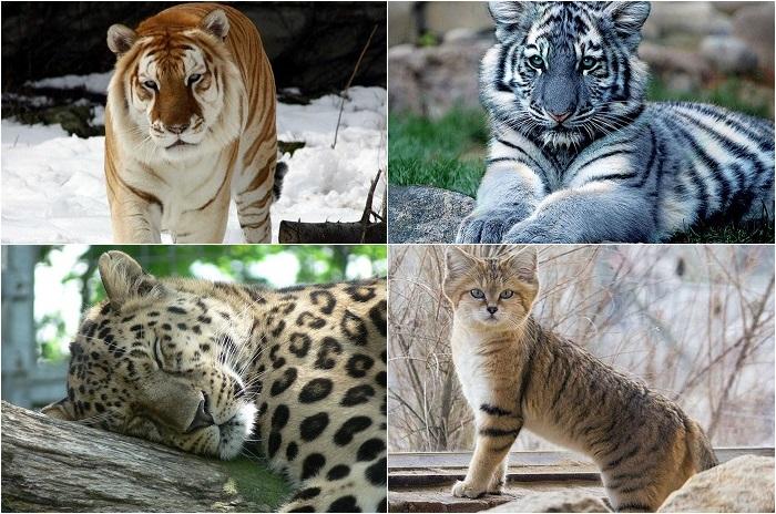 Картинки тигр дальневосточный